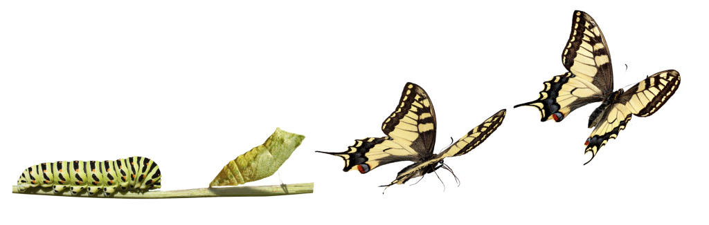 Transformation of caterpillar to butterfly
